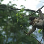 Sloth (Mum & bb) in Monte Claro