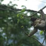 Sloth (Mum & bb) in Monte Claro